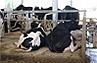 cuccetta per bovini