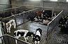 Pavimentazione fessurata per bovini